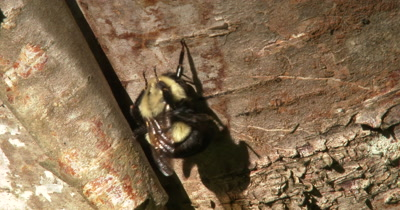 Bumblebee Hanging By One Leg, Vigorously Grooming Face And Legs