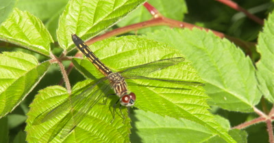 Blue Dasher Dragonfly, Female, Hunting From Blackberry Leaf