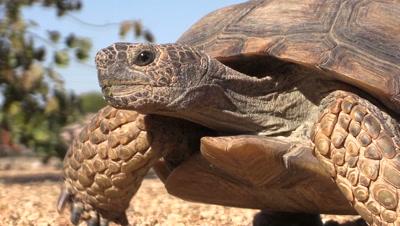 Desert Tortoise Close up