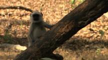 Juvenile Langur Monkey Looking Around