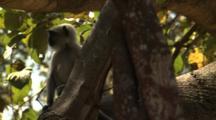Juvenile Langur Monkey Swing & Play