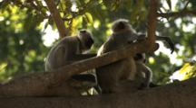 Juvenile Langur Monkey Grooms Mother