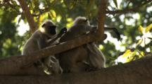 Juvenile Langur Monkey Grooms As Mother Nurses