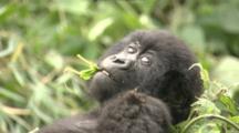 Juvenile Mountain Gorilla Chewing Leaf