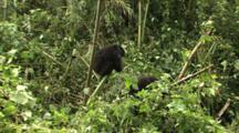 Juvenile Mountain Gorilla Climbing Bamboo