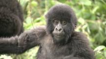 Juvenile Mountain Gorilla In Bamboo, One Playing