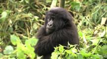Juvenile Mountain Gorilla Resting In Bamboo