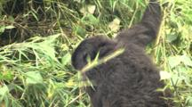 Juvenile Mountain Gorillas Climbing Bamboo
