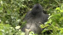 Powerful Silverback Male Mountain Gorilla Rips Bamboo