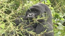 Silverback Male Mountain Gorilla Eats Bamboo