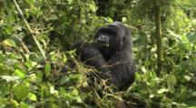 Male Mountain Gorilla Stripping Bamboo Leaves