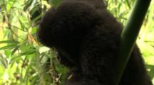 Infant Mountain Gorilla Eating Leaf
