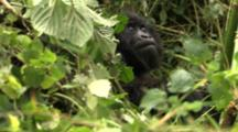 Young Mountain Gorilla Resting
