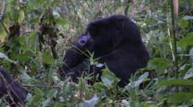 Mother Mountain Gorilla Resting