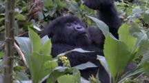 Female Mountain Gorilla Playing With Food More