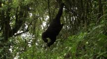 Young Mountain Gorilla Swings On Vine
