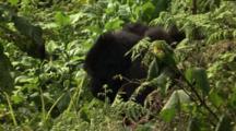 Mountain Gorilla Eating Celery Stalk