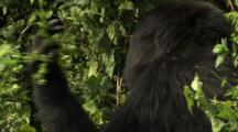 Large Female Mountain Gorilla Eats More Leaves