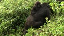 Female Mountain Gorilla With Infant Climbs Hill
