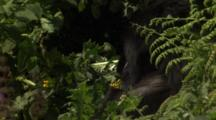 Adult & Juvenile Mountain Gorillas Rest & Feed