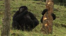 Mountain Gorillas Feed On Tree Bark In Plantation
