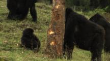 Mountain Gorillas Feed On Tree Bark Wide Shot