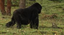 Big Female Mountain Gorilla Walks Through Plantation