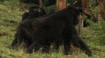 Big Female Mountain Gorilla Eats Bark Off Tree