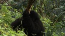 Mountain Gorilla Stripping Bark Off Small Tree - Zoom Out