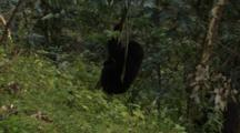 Mountain Gorilla Stripping Bark Off Small Tree - Zoom In