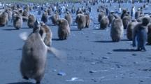 King Penguin Chicks Moulting, One Runs Toward Camera - Blue Cast To Shot. Gold Harbour. South Georgia