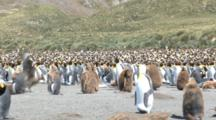 King Penguin (Aptenodytes Patagonicus) Colony With Foraging Great Skua (Stercorarius Antarctica). Gold Harbour. South Georgia