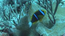 Orange-Fin Anemone Fish, Aphiprion Chrysopterus, On Coral Reef. Yap Island, Pacific