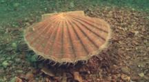 Scallop Rests On Sand Bottom