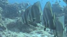 Tall-Fin Batfish Above Reef, Maldives