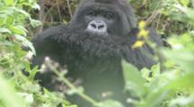 Mountain Gorilla (Gorilla Gorilla Beringei). Endangered. Adult Female With Stillborn Baby. Rwanda. 2009