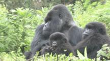 Mountain Gorillas, Adult Male With Family Group. Rwanda. 2010