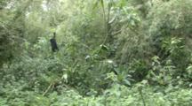 Mountain Gorilla (Gorilla Gorilla Beringei). Endangered. Young Play. Rwanda. 2009