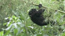 Mountain Gorilla (Gorilla Gorilla Beringei). Baby Plays. Rwanda. 2009