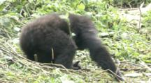 Mountain Gorilla, Youngster Rolls Down Hill, Thumps Chest (Overexposed At End). Rwanda. 2009