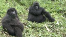 Mountain Gorillas, Juvenile Threat Display In Front Of Adult Female. Rwanda. 2009