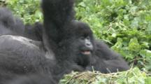 Mountain Gorilla (Gorilla Gorilla Beringei). Endangered. Juvenile And Adult Female Playfight. Rwanda. 2009