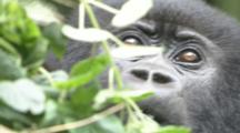 Mountain Gorilla Behind Vegetation,  Juvenile Feeds. Rwanda. 2009