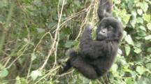 Mountain Gorilla (Gorilla Gorilla Beringei). Endangered. Youngster Hanging From Vines. Rwanda. 2009
