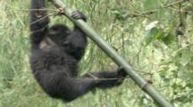 Mountain Gorilla, Youngster Climbs Up Vegetation. Rwanda. 2009
