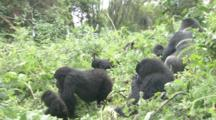 Mountain Gorilla Family Group Feeding, Rwanda. 2009