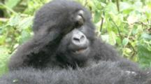 Mountain Gorilla, Baby Playfighting With Adult Female