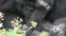 Mountain Gorillas, Female Cuddles Curly Haired Baby. Rwanda. 2009