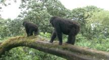 Mountain Gorillas, Juveniles Walk Across Downed Tree. Rwanda. 2009