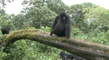 Mountain Gorilla Juveniles On Downed Tree Above Family Group. Rwanda. 2009